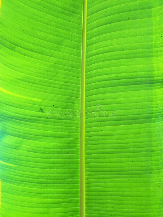Blank space from Green fresh and grunge banana leave pattern background. royalty free stock images