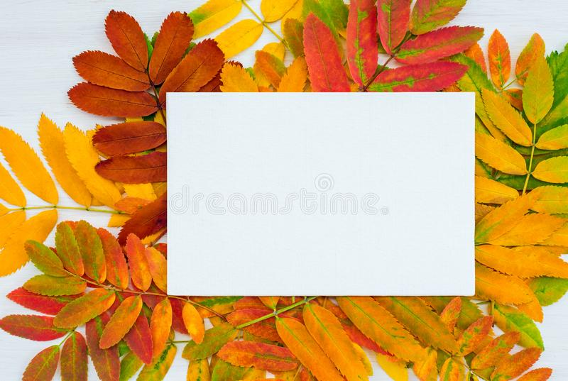 Blank white canvas on colorful ashberry tree leaves background royalty free stock photo