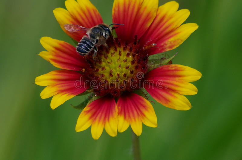 Blanket Flower and a Bee stock photos
