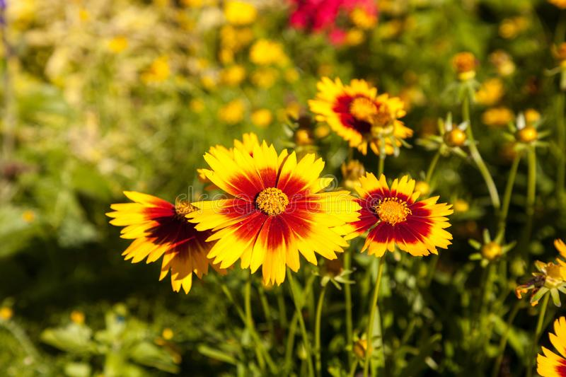 Download Blanket Flower Yellow Daisy With Red Center Called Gaillardia Pu  Stock Photo   Image Of