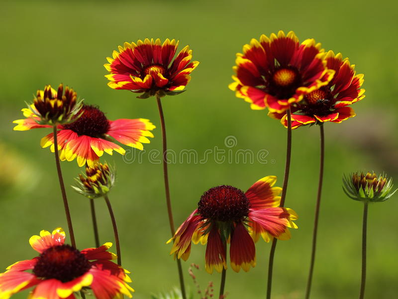 Download Blanket Flowers stock photo. Image of xeriscaping, stems - 11087866