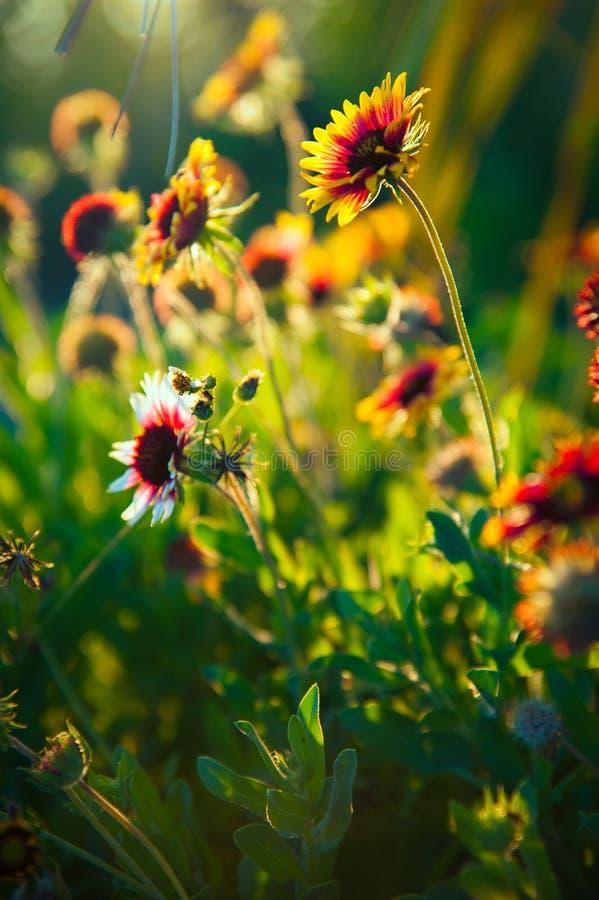 Free Blanket Flowers Stock Photos - 42999783
