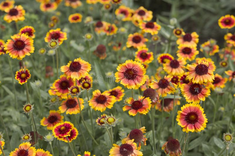 Blanket flowers. Bees pollinating blanket flowers royalty free stock photography
