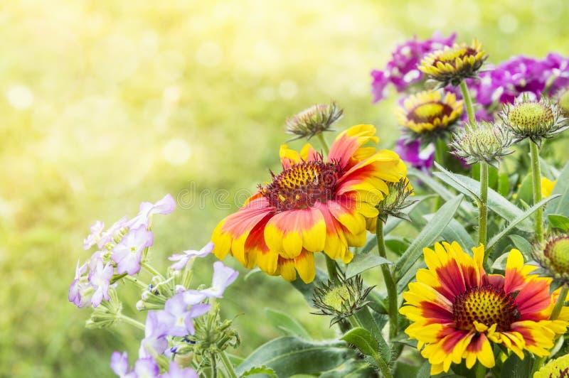Blanket flowers in flower bed. In garden royalty free stock image