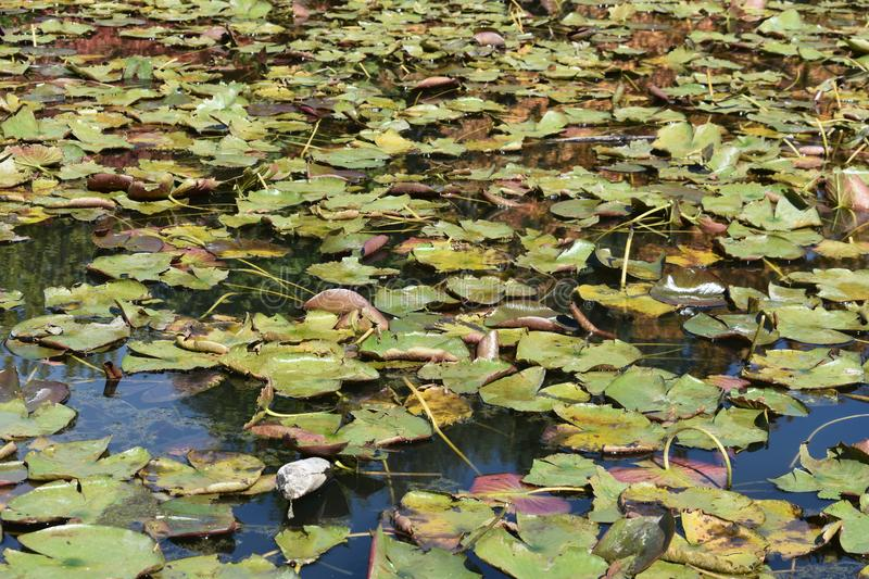 A Blanket of Lily Pads. These lily pads cover most of the ponds surface. Lily pads grow in the water with the foliage floating on the surface and the root system stock photo