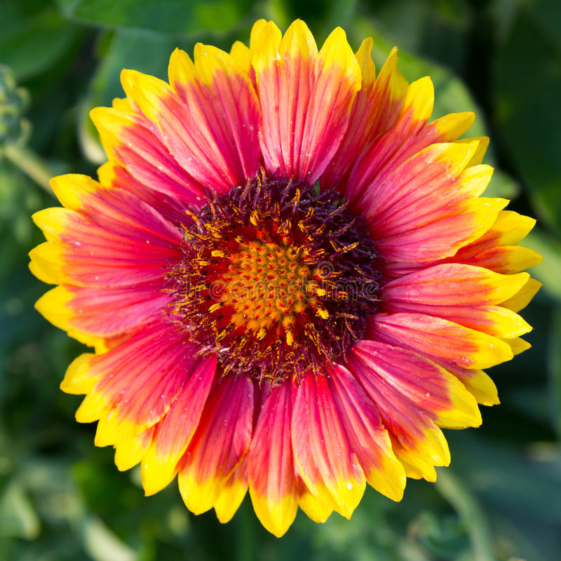 Blanketflower (galardia grandiflora) zdjęcie stock
