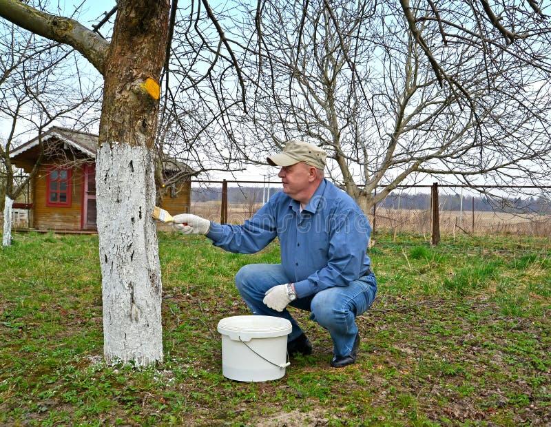 Blanqueo de un tronco de un Apple-?rbol La primavera funciona en un jard?n fotografía de archivo