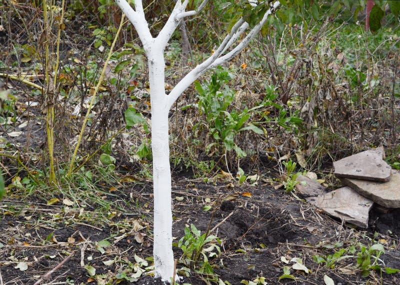 Blanqueo del manzano de la fruta Corteza de árbol de pintura en el color blanco fotografía de archivo