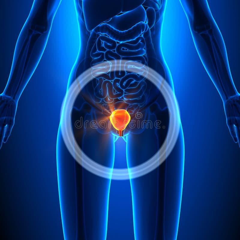 Blase - Weibliche Organe - Menschliche Anatomie Stock Abbildung ...