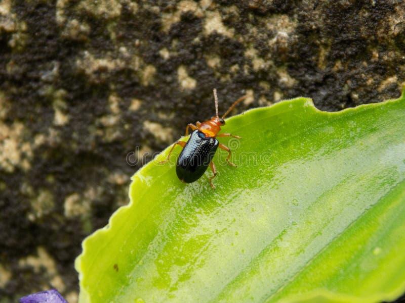 Blasen-Käfer stockbild