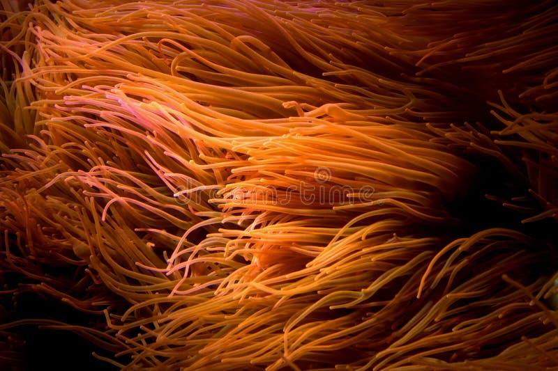 Blasen-Tipp-Anemone lizenzfreies stockfoto