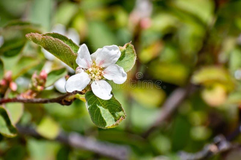 Blasse leaved Serviceberry Amelanchier utahensis Wildflowers, die in Yosemite Nationalpark im Sommer, Sierra Nevada -Berge blühen lizenzfreie stockfotografie