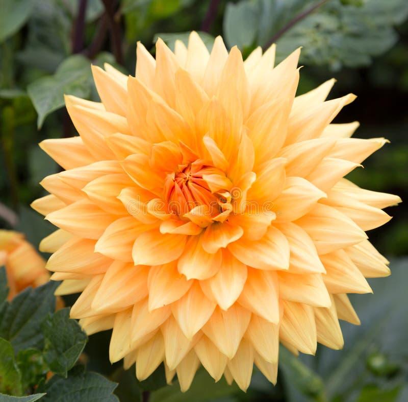 Blasse orange Dahlienblume lizenzfreie stockbilder
