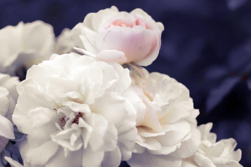 Blasse weiß-rosa Rosen auf surrealem unscharfem purpurrotem Laub backgrou stockbilder