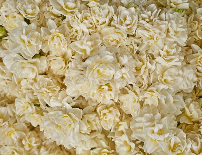 Blasse weiße Narzissenblumen stockfoto