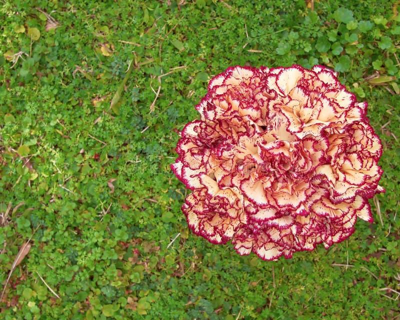 Blasse weiße und rosa Gartennelke blüht Blumenstrauß auf grünem Hintergrund stockbilder