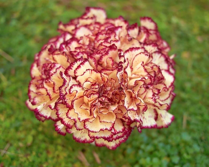 Blasse weiße und rosa Gartennelke blüht Blumenstrauß auf grünem Hintergrund lizenzfreie stockbilder