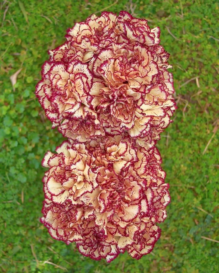 Blasse weiße und rosa Gartennelke blüht Nahaufnahme lizenzfreies stockbild
