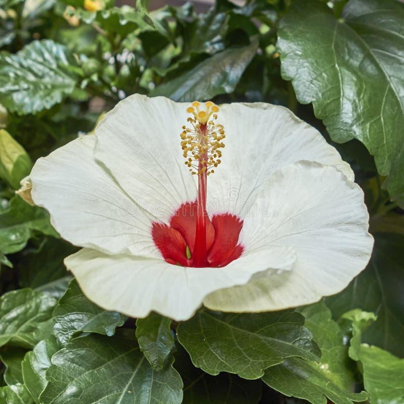 Blasse weiße und rote Hibiscusblume lizenzfreies stockfoto