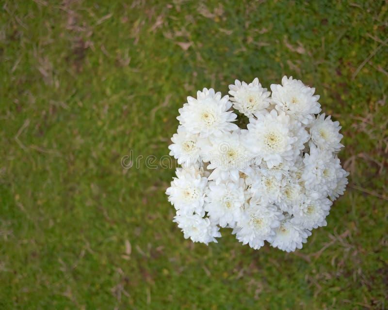 Blasser weißer Chrysanthemenblumenstrauß auf grünem Hintergrund stockbilder