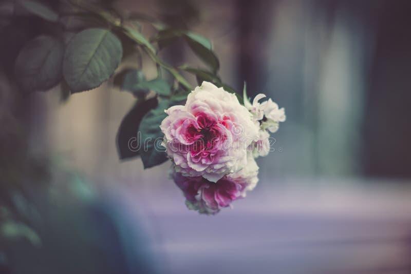 Blasses weißes und rosa stiegen stockbild