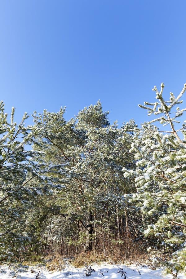 blasten av sörjer träd i skogen i vinter royaltyfri foto