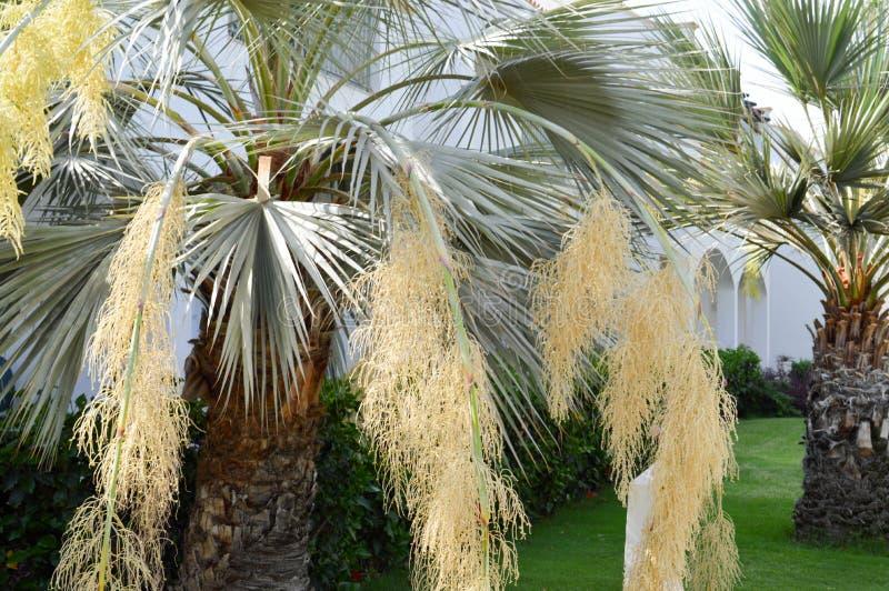 Blasten av stammarna av härliga tropiska exotiska palmträd med stora gröna sidor mot den blåa himlen fotografering för bildbyråer
