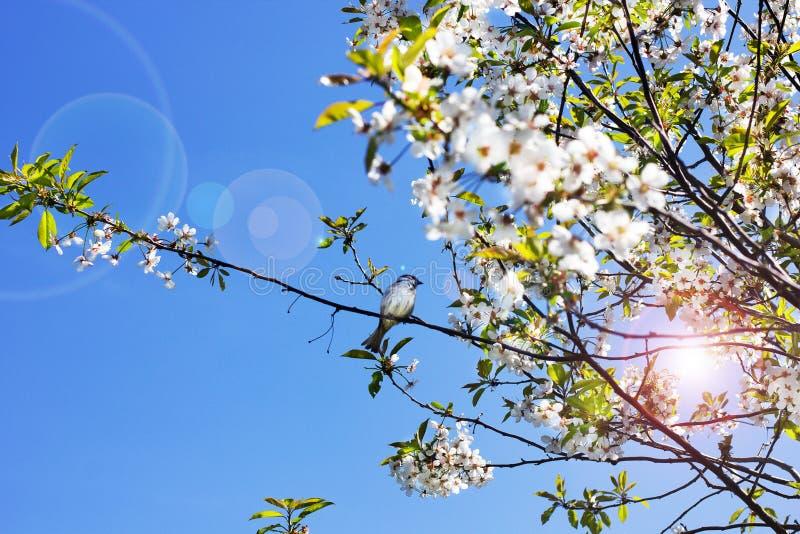 Blasten av träden mot himlen Blomningar för körsbärsrött träd arkivfoto