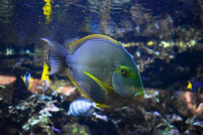 BLASZECZNICY ryba W akwarium obraz stock