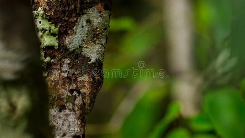 Blatt-angebundener Gecko, Uroplatus-sikorae, Spezies des Geckos mit der Fähigkeit, seine Hautfarbe zu ändern, um seine Umgebungen lizenzfreies stockbild