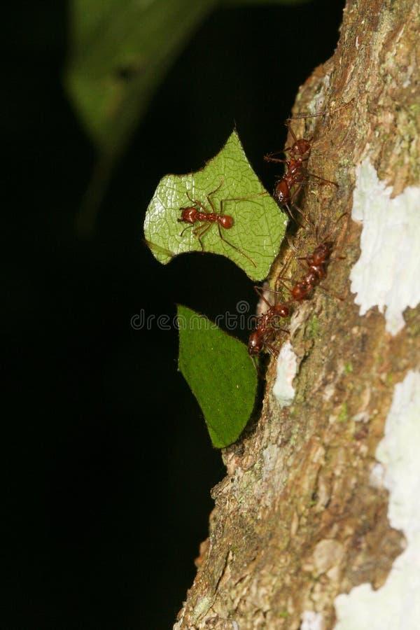 Blatt-Ausschnitt Ameise mit einem Wächter stockfotos