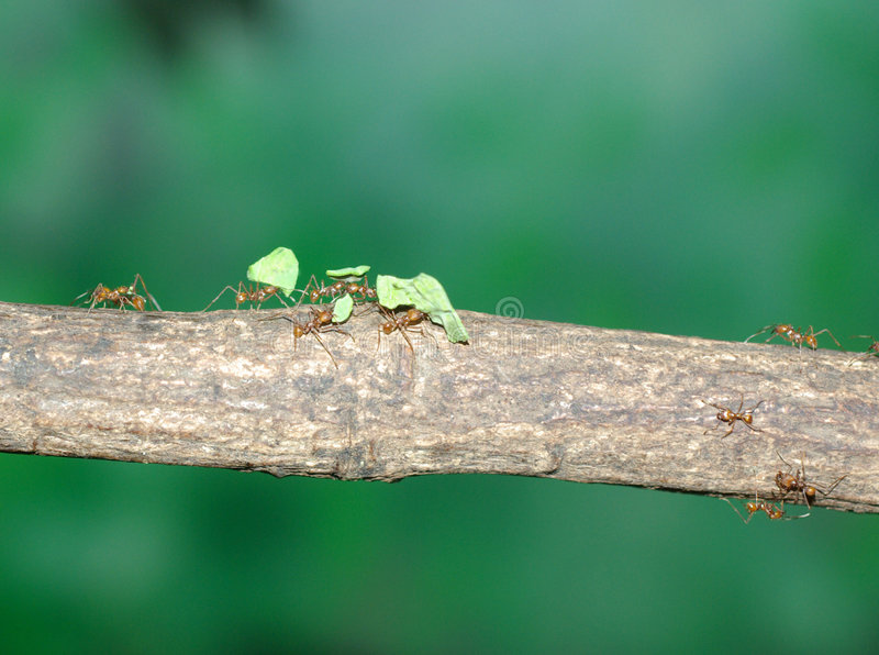 Blatt-Ausschnitt Ameisen lizenzfreies stockfoto