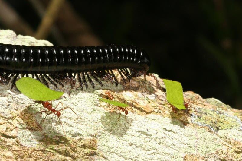Blatt-Ausschnitt Ameisen und ein Tausendfüßer stockfotos