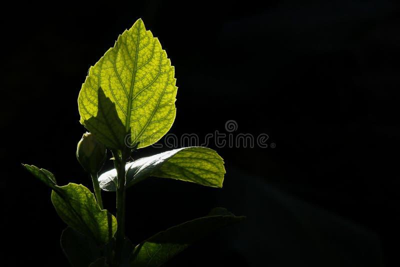 Blatt backlit stockfotos