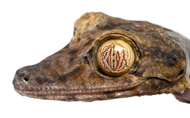 Blatt band Gecko - Uroplatus fimbriatus an stockbild