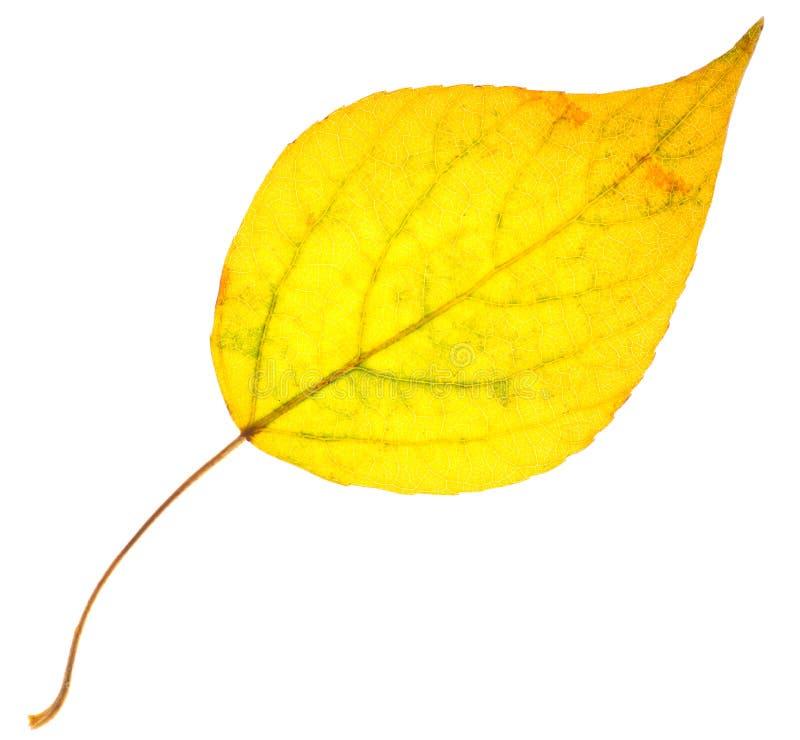 Blatt der gelben Pappel lokalisiert stockbilder