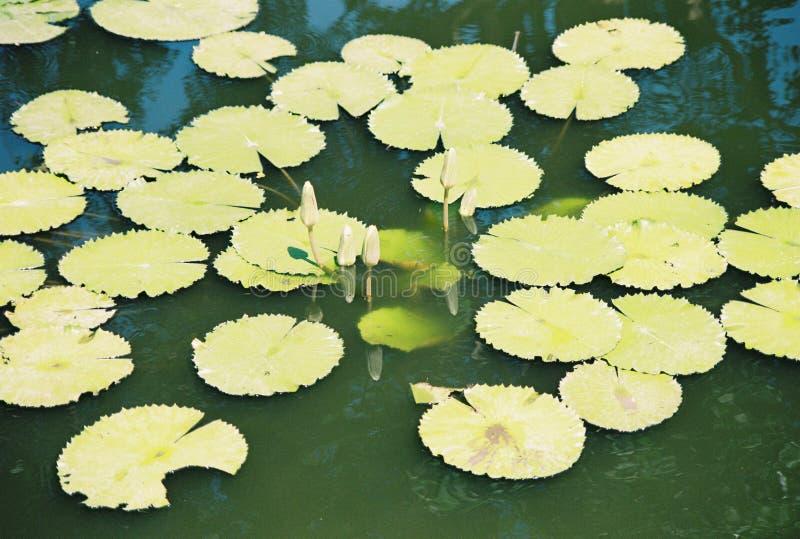 Blatt der Seerose auf dem Wasser stockfotografie