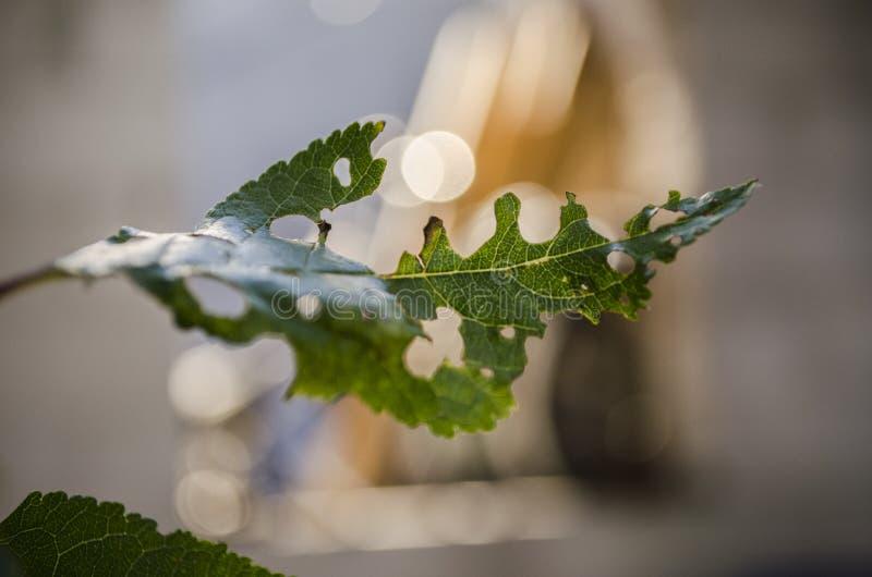 Blatt des Kirschbaums im Garten, der durch ein Gleiskettenfahrzeug leafworm gegessen wird lizenzfreies stockfoto