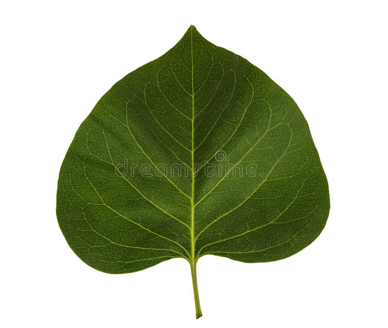 Blatt oder Betriebsblatt lokalisiert auf weißem Hintergrund Grünes Blatt oder grüne Blätter auf weißem Hintergrund lizenzfreie stockfotografie