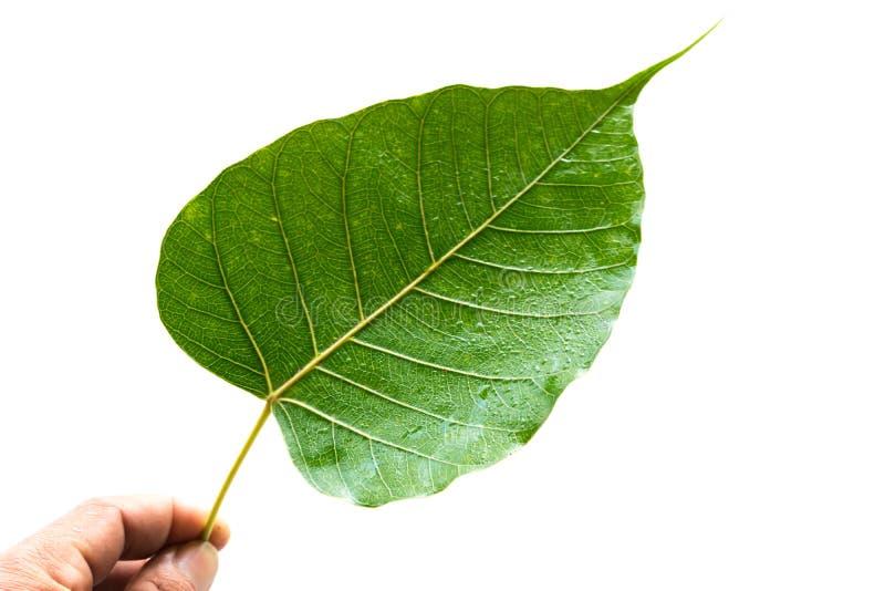 Blatt verlässt in den tropischen Bereiche Blättern, Blätter, Bothi-Weiß lizenzfreie stockfotos