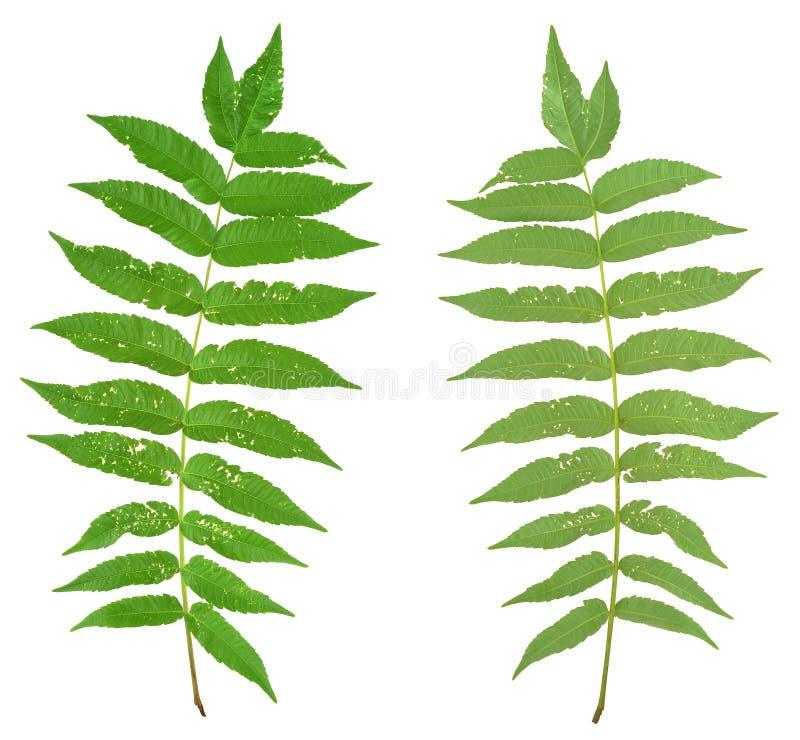 Blatt von sumac Baum in Angriff genommen durch Flohkäfer, Alticiny lizenzfreie stockfotos