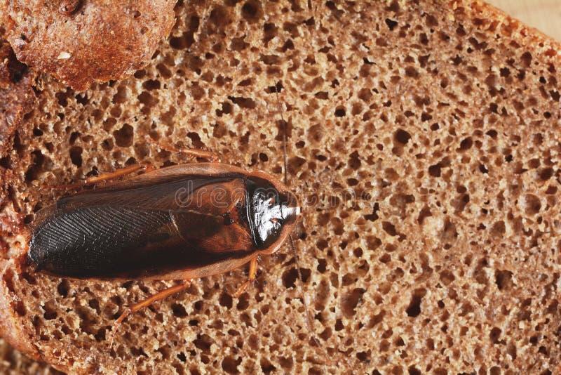 Blatta su alimento nella cucina Il problema è nella casa a causa delle blatte Blatta che mangia nella cucina fotografie stock