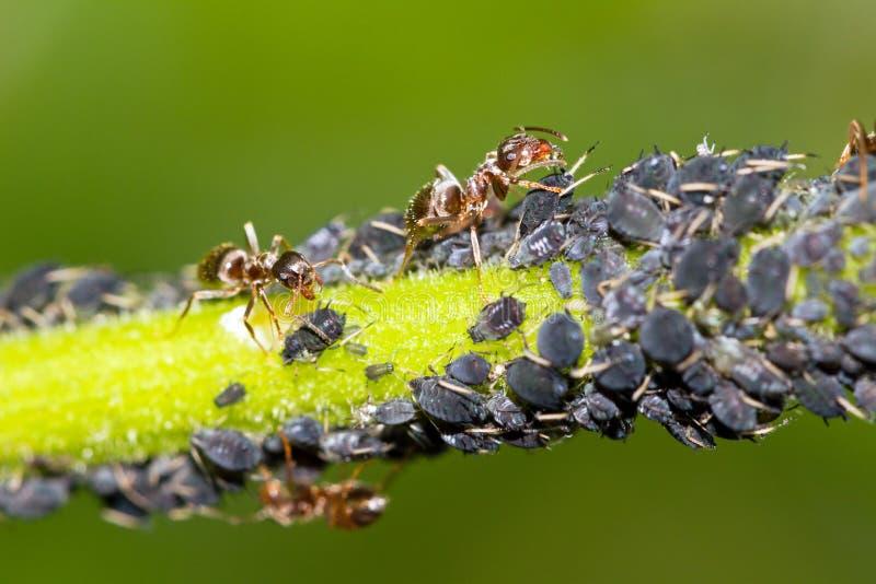 Blattläuse und Ameisen stockbilder