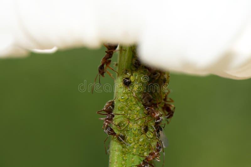 Blattlauskolonie auf einer Blume mit Ameisen, Abschluss oben stockfotografie