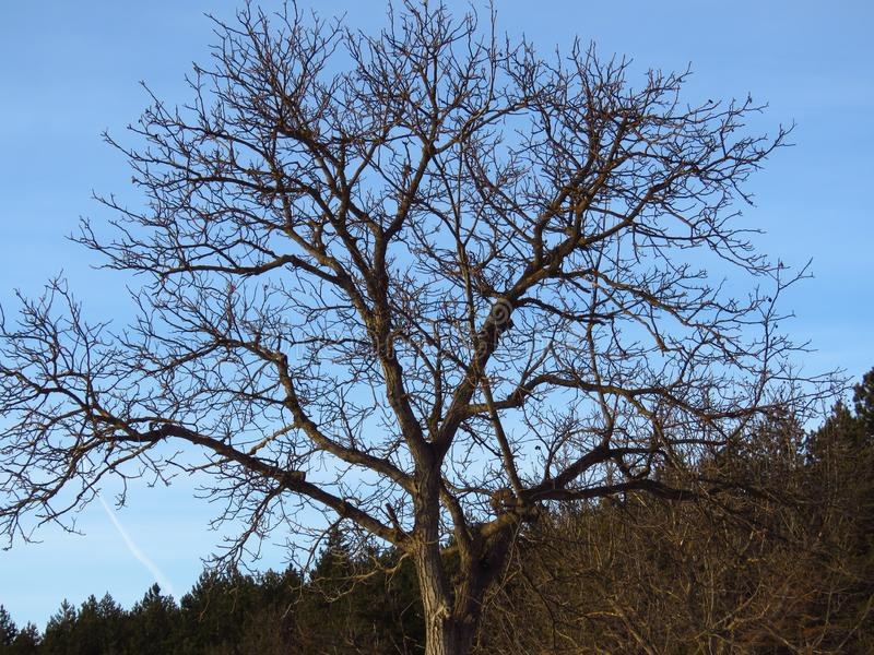 Blattlose Bäume Prognose des kühlen Wetters stockbilder