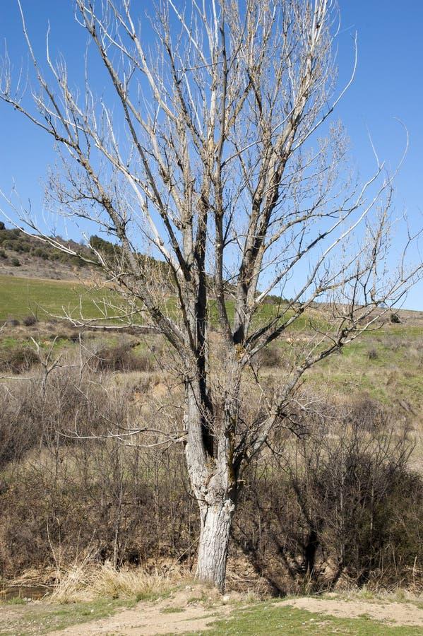 Blattloser Baum wegen des Winters stockfotos