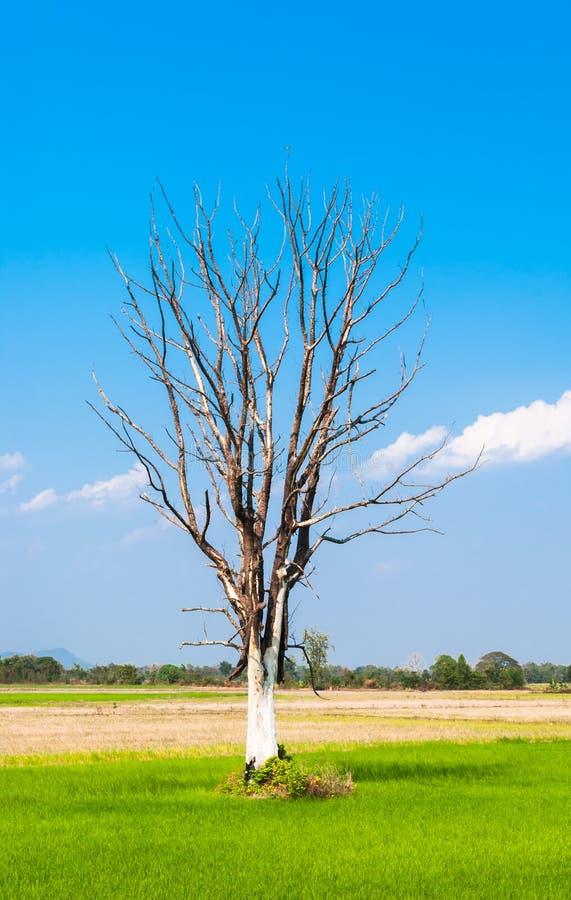 Blattloser großer Baum auf Mitte des grünen Reis-Feldes stockfotografie