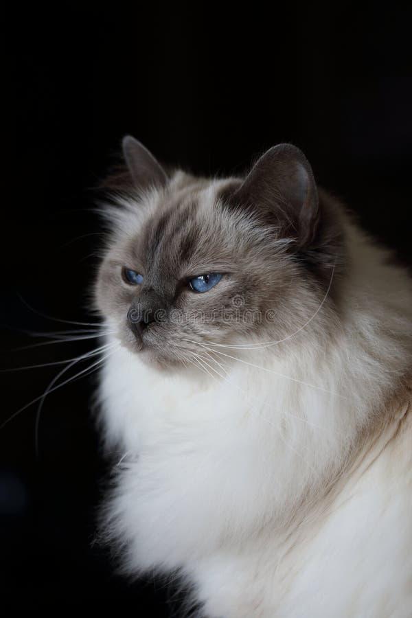 Blauäugige Katze des schönen flaumigen weißen Babys auf schwarzem Hintergrund lizenzfreies stockbild
