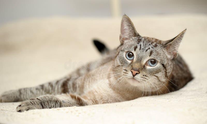 Blauäugige thailändische Katze der getigerten Katze stockfotografie