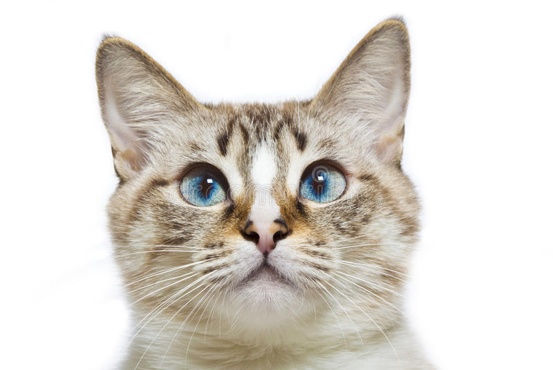 Cat Ear Clipart